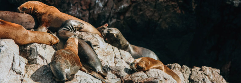 Sea lions lying on stones in Paracas, Peru