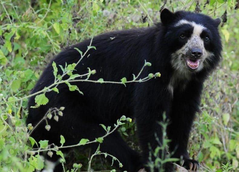 Bear2_WildlifeBolivia