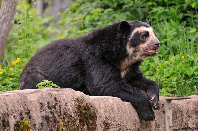 The Spectacled Bear - Bolivia