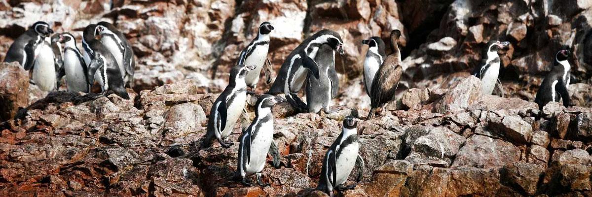 Humboldt Penguins on stones in Paracas, Peru