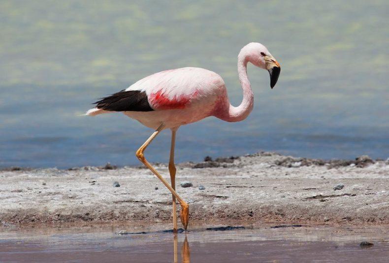 Flamingo - Wildlife Bolivia