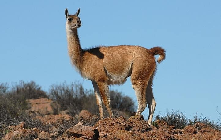 Guanaco - Wildlife in Bolivia
