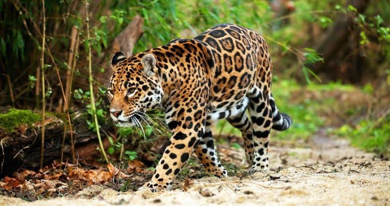 Jaguar - Wildlife in Bolivia