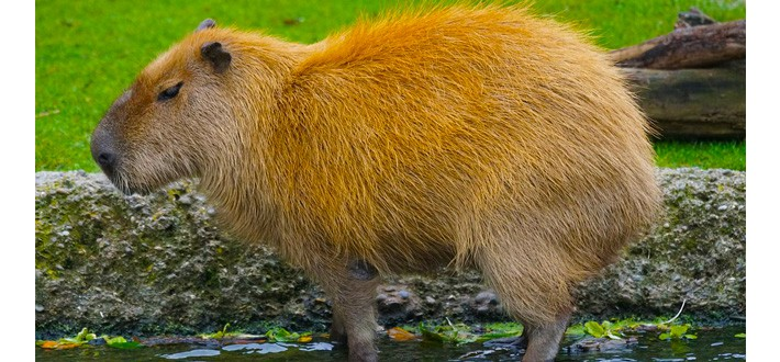 Capybara Giant Amazon Rainforest Animals