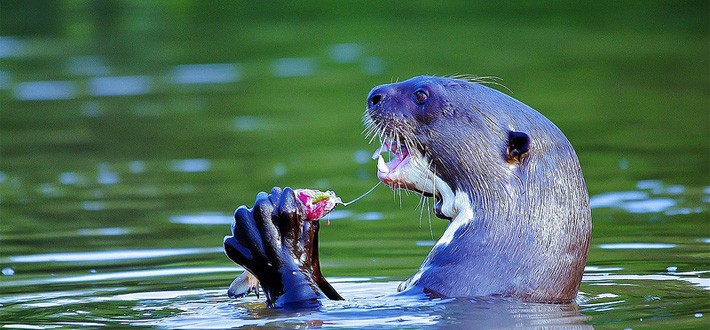 Giant River Otter in Amazon