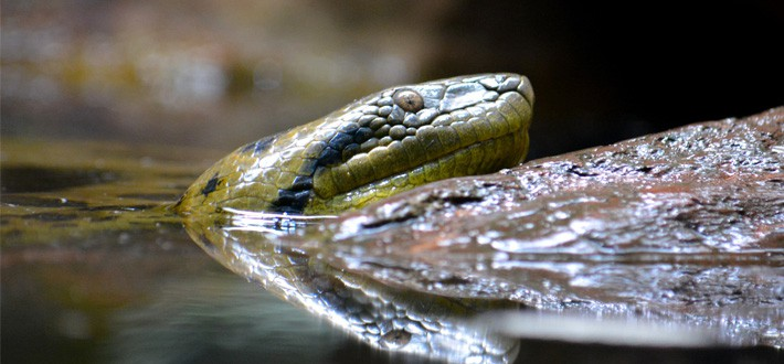 Green Anaconda in Amazon River