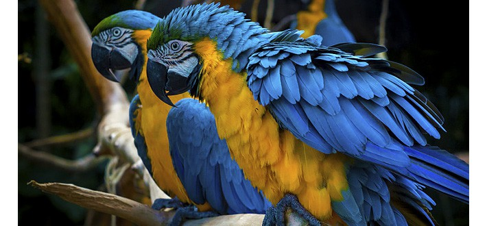 Macaw Parrot Amazon Rainforest Animals