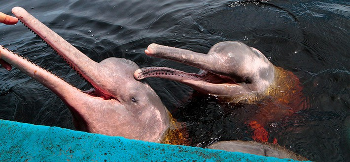 Golfinho cor de rosa no Rio Amazonas