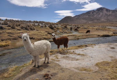 Sajama national park bolivia - alpacas at park
