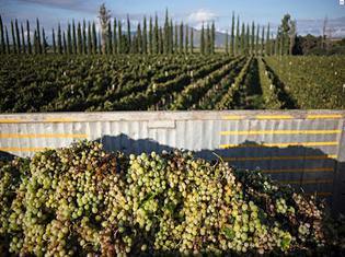 Singani Bolivia - singani vineyard