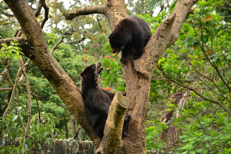 Madidi National Park - Spectacled Bear
