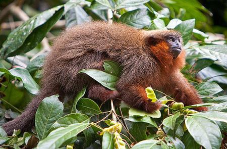Madidi National Park - Madidi Titi