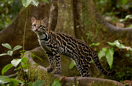 Madidi National Park - Ocelot