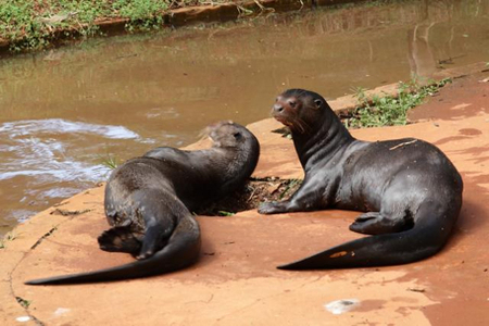 Madidi National Park - Giant Otter