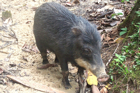 Madidi National Park - White-Lipped Peccary
