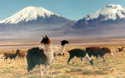 Sajama national park bolivia - Llamas at park