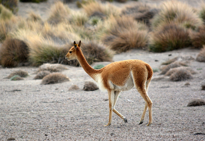 Sajama national park bolivia - Vicuna walking in the park