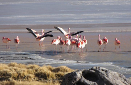 Sajama national park bolivia - group of flamingos close to water