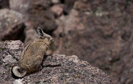 Sajama national park bolivia - chinchilla