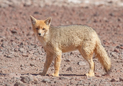 Sajama national park bolivia - andean fox